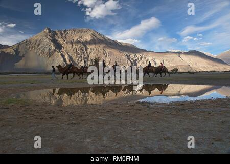 Bactrian camels in the Karakoram Mountains, Hundar, Nubra Valley, Ladakh, India. - Stock Photo