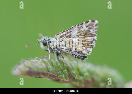 Olive Skipper, Pyrgus serratulae, small skipper found in flowery meadows on limestone , calcerous or silicate soils. Host plants are Alchemilla and - Stock Photo
