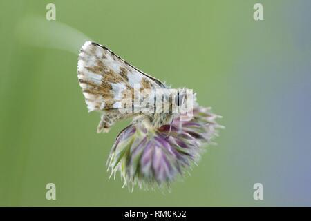 "Safflower Skipper, Pyrgus carthami, small speckled skipper butterfly with wingspan of 30â. ""34 mm. food plants: Potentilla, Malva, Althaea, Centaurea. - Stock Photo"