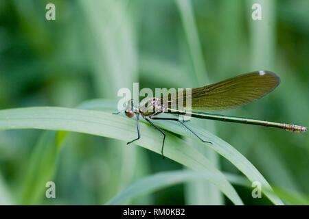 Female Beautiful Demoiselle, Calopteryx virgo. - Stock Photo