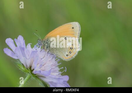 Chestnut Heath, Coenonympha glycerion. Large chestnut brown butterfly with a line of 6 eyespots along the back wing with white patches. There is an - Stock Photo