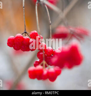 berries covered with snow - Stock Photo