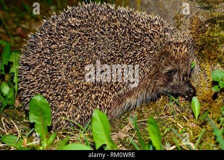 Hedgehog (Erinaceus europaeus) in Bialowieza fields, Podlasie, Poland - Stock Photo