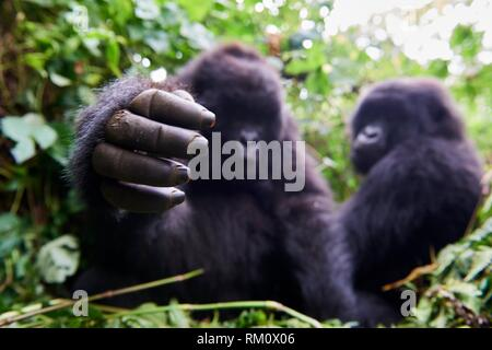 Curious young mountain gorilla female (Gorilla beringei beringei) stretching hand. She belongs to a family group named Kabirizi. Virunga National - Stock Photo
