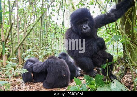 Curious young mountain gorilla aged 2 years (Gorilla beringei beringei) comes nearer to the camera. He belongs to a family group named Munyaga. - Stock Photo
