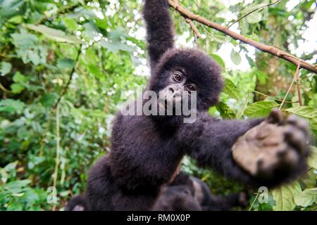 Curious baby mountain gorilla (Gorilla beringei beringei) from the Rugendo group hanging from branch and wants to grab at camera, Virunga National - Stock Photo
