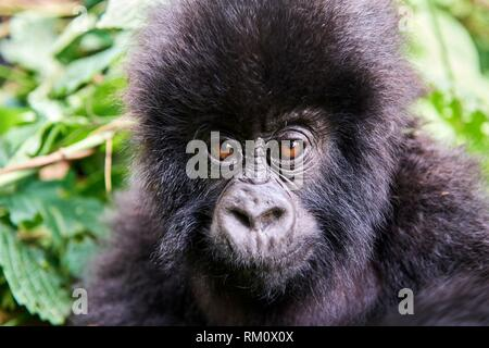 Head portrait of baby mountain gorilla (Gorilla beringei beringei), member of Humba group. Virunga National Park, North Kivu, Democratic Republic of - Stock Photo