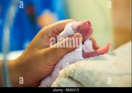 Newborn male panda (Ailuropoda melanoleuca) being nursed in incubator, Zooparc de Beauval, Saint Aignan sur Cher, France, August 2017. - Stock Photo