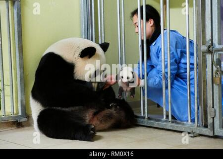 Keeper feeding Giant panda (Ailuropoda melanoleuca) female Huan Huan, whilst removing baby, age one month, for check ups. Beauval Zoo, France.