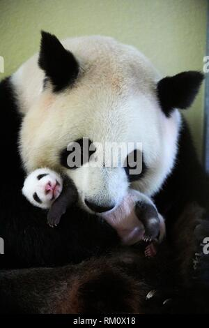 Giant panda (Ailuropoda melanoleuca) female, Huan Huan, holding baby age one month, Beauval Zoo, France.