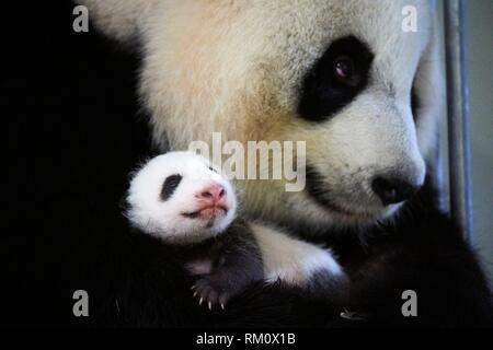 Giant panda (Ailuropoda melanoleuca) female, Huan Huan, holding baby age one month, Beauval Zoo, France. - Stock Photo