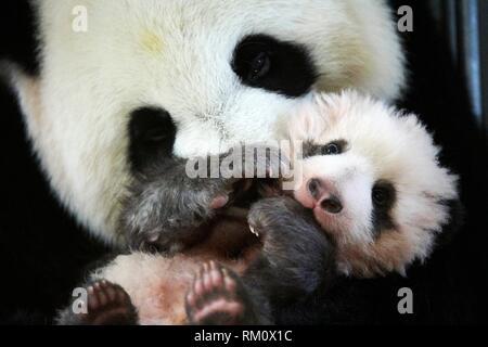 Giant panda (Ailuropoda melanoleuca) female, Huan Huan, holding baby age three months, Beauval Zoo, France, November 2017.