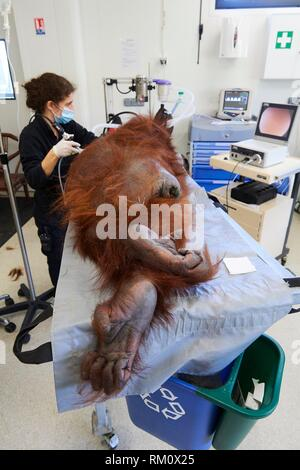Veterinarian practising endoscopy on a female Orangutan (Pongo pygmaeus) under anaesthetic, having a pulmonary infection, surgery station of Zooparc - Stock Photo