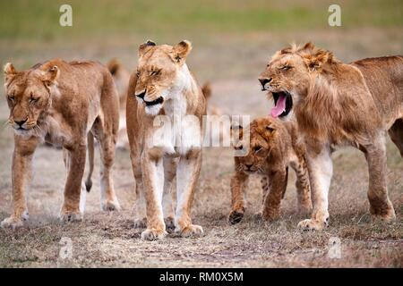 African Lion (Panthera leo) pride on the move with lionesses and cubs, Masai Mara National Reserve, Kenya, Africa. - Stock Photo