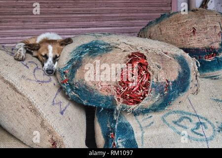 Let sleeping dogs lie, dog on top of chiles in the Khari Baoli Spice Market, Old Delhi, India. - Stock Photo