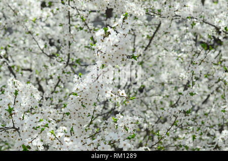 Close up of blossoming green apple tree with white flowers in a garden - Stock Photo