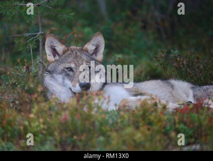 Wolf (Canis lupus), Gronklitt, Dalarna, Sweden - Stock Photo
