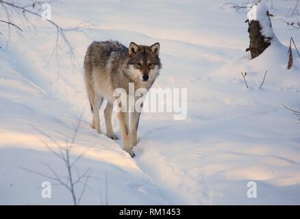 Wolf (Canis lupus), Dalarna, Sweden - Stock Photo