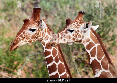 Two reticulated giraffe {Giraffa camelopardalis reticulata} head and necks, Samburu National Reserve, Kenya, Africa. - Stock Photo