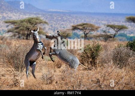 Grevy zebra stallions fighting {Equus grevyi} Samburu National Reserve, Kenya, Africa. - Stock Photo