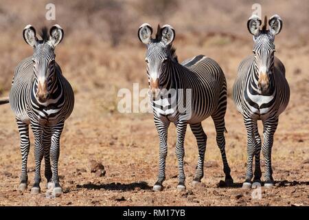 Grevy zebra stallions {Equus grevyi} Samburu National Reserve, Kenya, Africa. - Stock Photo