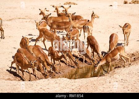 Impala herd with females (Aepyceros melampus) drinking at waterhole, dry season, Samburu National Reserve, Kenya, Africa. - Stock Photo