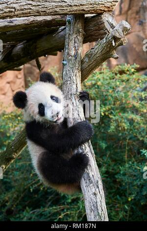Giant Panda cub (Ailuropoda melanoleuca) climbing. Yuan Meng, first giant panda even born in France, is now 8 months old and likes very much to stay - Stock Photo