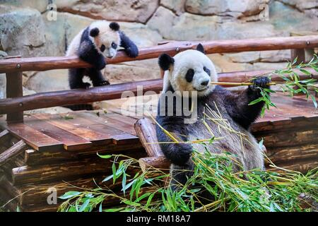 Female giant panda Huan Huan feeding on bamboo with her playfull cub in the background (Ailuropoda melanoleuca). Yuan Meng, first giant panda even - Stock Photo