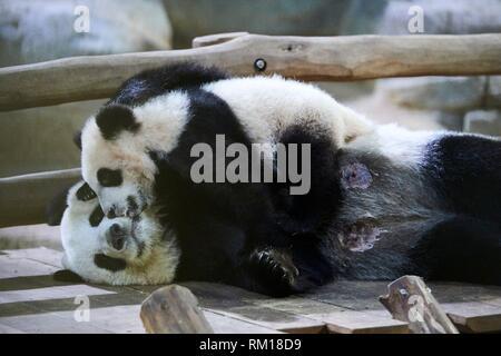 Giant panda cub Yuan Meng after finishing suckling its mother Huan Huan (Ailuropoda melanoleuca) wants to play with her. Yuan Meng, first giant panda
