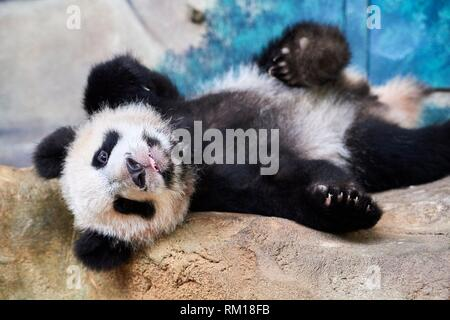 Playful giant panda cub (Ailuropoda melanoleuca) upside down. Yuan Meng, first Giant panda even born in France, now aged 10 months, Beauval Zoo, - Stock Photo