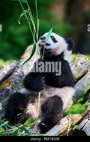 Giant panda cub (Ailuropoda melanoleuca) playfully chewing a bamboo stick. Yuan Meng, first giant panda ever born in France, is now 10 months old and - Stock Photo