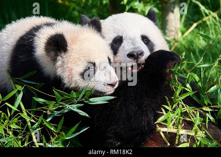 Female giant panda Huan Huan feeding on bamboo with her playfull cub (Ailuropoda melanoleuca). Yuan Meng, first giant panda even born in France, is - Stock Photo