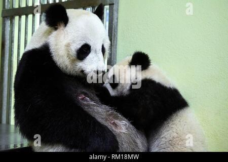 Giant panda cub Yuan Meng suckling its mother Huan Huan (Ailuropoda melanoleuca). Yuan Meng, first giant panda ever born in France, is now10 months