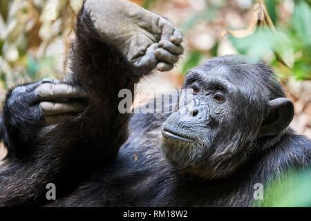Chimpanzee (Pan troglodytes schweinfurthii) male, scratching its leg, National Park, Uganda, Africa. - Stock Photo