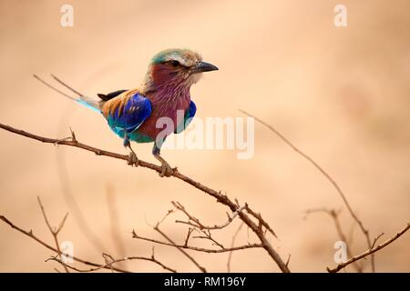 Lilac breasted roller perched on branch (Coracias caudata), South Luangwa National Park, Zambia. - Stock Photo