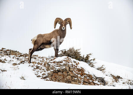 Male bighorn sheep (Ovis canadensis) in Yellowstone National Park in Wyoming, USA - Stock Photo