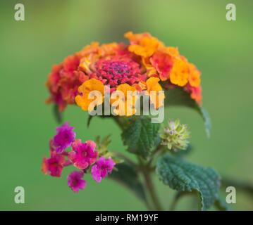 Close-up detail of a purple and orange rose lantana flower lantana camara in rural garden setting - Stock Photo