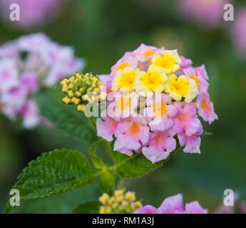 Close-up detail of a pink and yellow rose lantana flower lantana camara in rural garden setting - Stock Photo
