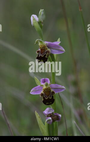 Flowering Bee Orchid (Ophrys apifera), Halsberg, Eifel, Germany. - Stock Photo