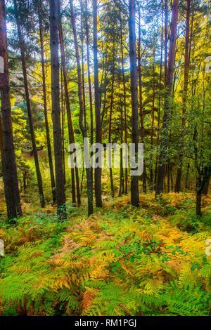 Pine forest in Autumn. Sierra del Rincon, Montejo de la Sierra, Madrid province, Spain. - Stock Photo
