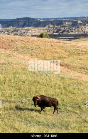 Bison, Theodore Roosevelt National Park-South Unit, North Dakota. - Stock Photo