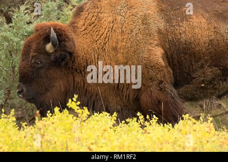Bison, Theodore Roosevelt National Park-North Unit, North Dakota. - Stock Photo