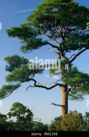 Pine on St Josephs Bay Trail, St Josephs Peninsula State Park, Florida. - Stock Photo