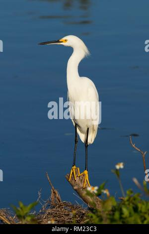 Snowy egret (Egretta thula), Merritt Island National Wildlife Refuge, Florida. - Stock Photo