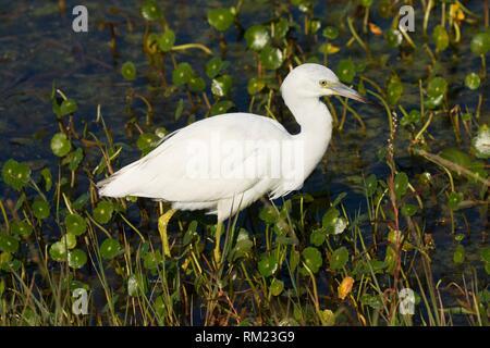 Little blue heron (Egretta caerulea), Orlando Wetlands Park, Florida. - Stock Photo