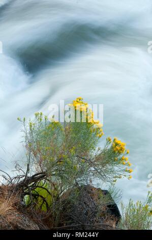 Deschutes Wild and Scenic River rabbitbrush from Deschutes River Trail, Deschutes National Forest, Oregon. - Stock Photo