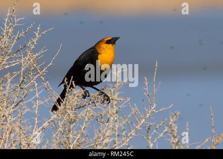 Yellow-headed blackbird (Xanthocephalus xanthocephalus), Summer Lake Wildlife Area, Oregon Outback Scenic Byway, Oregon. - Stock Photo