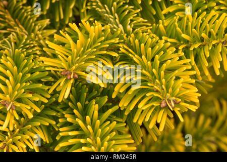 Nordmann fir (Abies nordmanniana), Oregon Garden, Silverton, Oregon. - Stock Photo
