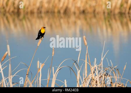 Yellow-headed blackbird (Xanthocephalus xanthocephalus), Freezeout Lake Wildlife Management Area, Montana. - Stock Photo