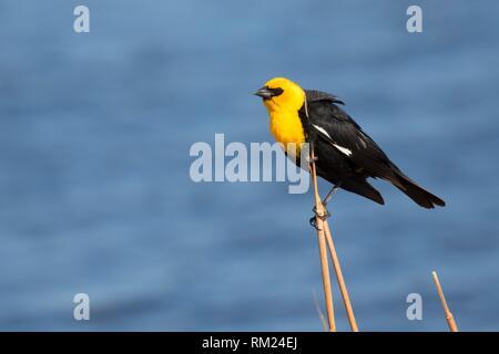Yellow-headed blackbird (Xanthocephalus xanthocephalus), Benton Lake National Wildlife Refuge, Montana. - Stock Photo